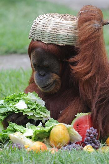<p>Pensou que os bichos não tinham Natal, internauta? Pois é, eles tem! E também comem frutas da época e até panetone. Não acredita?</p><p></p><p>Nesta semana, chimpanzés do Zoológico do Rio receberam cestas de Natal com frutas, panetones e outras iguarias natalinas!</p><p></p><p>Eles se divertiram com o presente e, um deles, até chegou a virar a cesta na própria cabeça. Que alegria!</p>