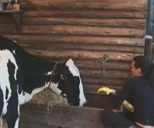 Vaca Mimosa dá um susto em Shayene durante realização de tarefa ...
