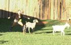 Revolução dos bichos! Alguns peões tiveram dificuldades para cuidar dos animais, veja!